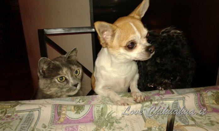 Alimentazione del Chihuahua