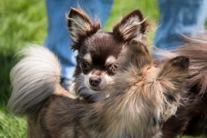 Fertility and coupling of Chihuahua, Guide and Advices. Guides and Advices for Chihuahua Informations