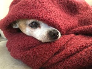 Bathroom & Hygiene of Chihuahua, Guide and Advices. Guides and Advices for Chihuahua Informations