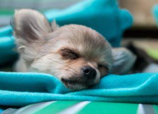 Chihuahua Style