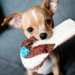 Guides and Tips about Chihuahua
