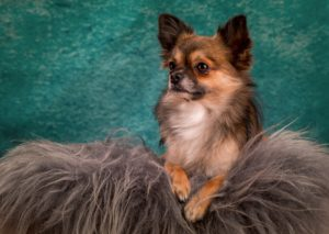 Character and features of the long-haired Chihuahua Informations