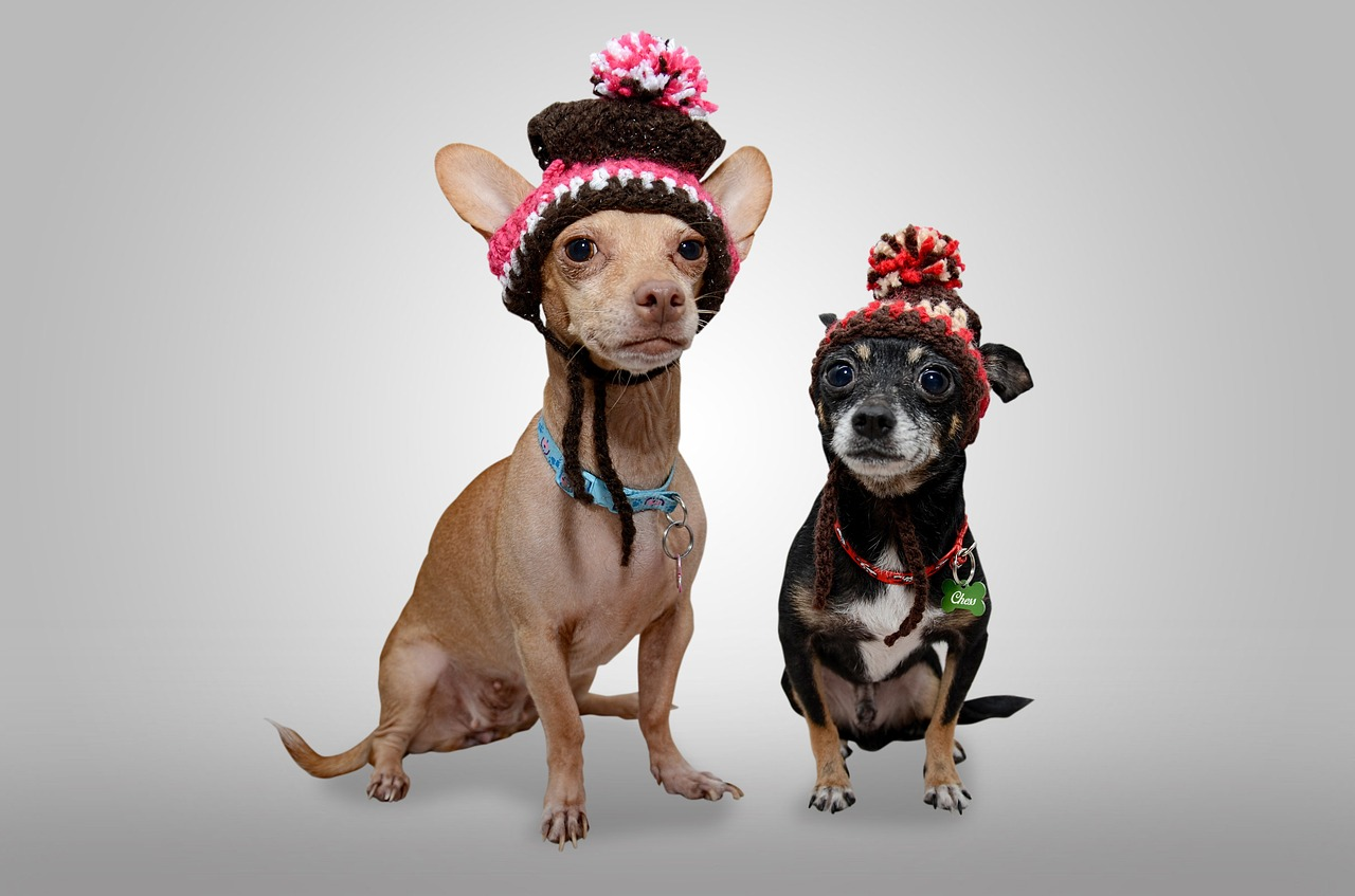 Toy Chihuahua and Mexican Chihuahua