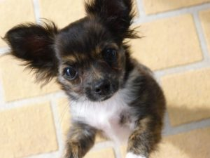 Training of Chihuahua, Guide and Advices. Guides and Advices for Chihuahua Informations