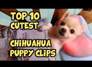 Videos about Chihuahua