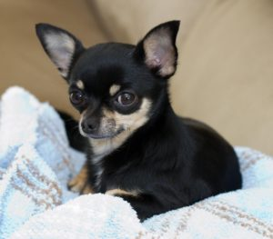 Chihuahua Pathologies, the Guide and Advices. Guides and Advices for Chihuahua Informations