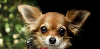 Everything About Chihuahua
