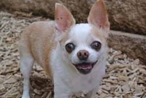 Chihuahua dental care, Guide and Advices. Guides and Advices for Chihuahua Informations
