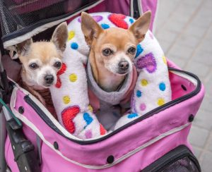 The first accessories for the arrival of a Chihuahua All about Chihuahua