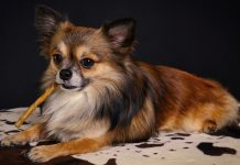 Informations about Chihuahua