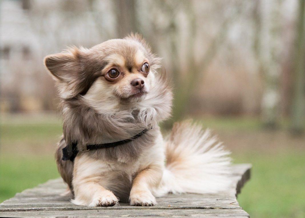 books about Chihuahua